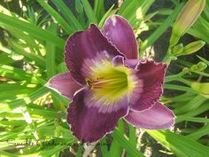 Daylily Court Magician / Sensible Gardening and Living