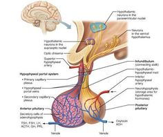 TJ. The hypothalamus is a brain structure made up of distinct nuclei as well as less anatomically distinct areas. It is found in all vertebrate nervous systems. In mammals, magnocellular neurosecretory cells in the paraventricular nucleus and the supraoptic nucleus of the hypothalamus produce oxytocin and vasopressin. These hormones are released into the blood in the posterior pituitary.[3] Much smaller parvocellular neurosecretory cells, neurons of the paraventricular nucleus, release…