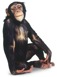 Looking to learn more about chimpanzees? Improve your knowledge on chimpanzees with interesting facts and find out more with DK Find Out for kids. Animal Pictures For Kids, Wild Animals Pictures, List Of Animals, Animals And Pets, Primates, Mammals, Black Background Photography, Baboon, Cutest Animals