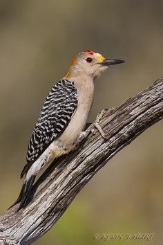 Golden Fronted Woodpecker by Kevin J. Hurt, PhD on 500px