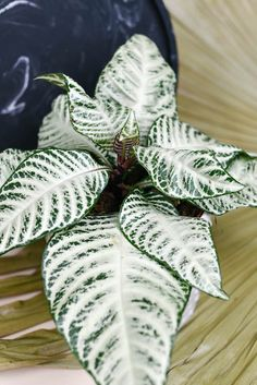 How to grow a Zebra Plant - Aphelandra Squarrosa 'White Wash' care tips at Houseplant411.com Plants, White Leaf, Plant Leaves, Plant Decor, Flowers, Unusual Plants, Climbing Plants, Beautiful Gardens, Zebra Plant