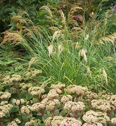 Silvergräs (achnaterum calamagrostis Lemperg) - Kärleksört (sedum Matrona)