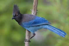 Photographic Print: Stellers Jay by Ken Archer : 24x16in