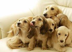 Creamy dachshund babies!