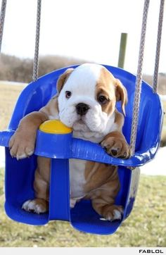 English Bulldog In A Swing! To stinkin cute!