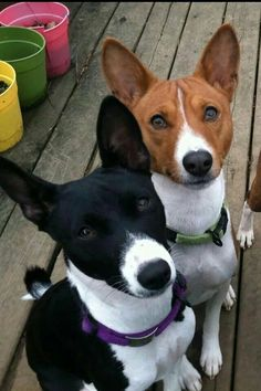Beautiful Dogs, Animals Beautiful, Basenji Puppy, Pet Dogs, Dog Cat, Animals And Pets, Cute Animals, Crazy Dog Lady, Yorkshire Terrier Puppies
