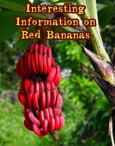 Red Banana : Interesting Facts