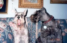Milly could talk -- Wolfie would listen; both rescue Schnauzers