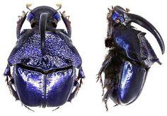 Phanaeus quadridens quadridens Say, 1835 (male) Family: Scarabaeidae Size: 13-23 mm Distribution: Mexico, Arizona Location: Mexico, Almoloya del Rio, 1981 Photo: U.Schmidt, 2006 . https://www.kaefer-der-welt.de/phanaeus__quadridens_2.htm