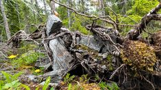 Where I live we dont have slate rock, but there are several locations in Norway where one can find a lot of it. This was taken in a place called Snåsa. The roots of the tree lifted up large chunks of slate rocks.