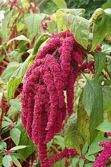 An amaranth plant in flower. As you can see, amaranth can be quite showy when in bloom but it's also an extraordinarily healthy gluten free grain.