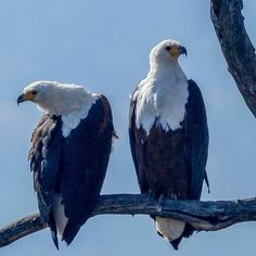 A pair of Fish Eagles. Photo credit: @waynen40 Tag: #Pilanesberg_ • #birdsofsouthafrica #birdsofpilanesberg #allmightybirds #africanamazing #birdlifeafrica #fisheagle #birdsofprey #africa #africanfisheagle #Pilanesberg #PilanesbergNationalPark #nationalpark #nature #nature_perfection #wildlife #wildlife_perfection #waynen40 #only_raptors #feather_perfection #pocket_birds #your_best_birds Nature Nature, Life Photo, Photo Credit, Pocket, Wild Life, National Parks, Africa, Raptors, Fish
