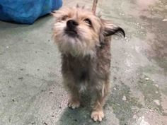 SUPER URGENT 09/25/17: ****MUST BE PULLED BY A NEW HOPE RESCUE****Brooklyn Center  My name is ROGER. My Animal ID # is A1125446. I am a male gray and brown yorkshire terr and shih tzu mix. The shelter thinks I am about 1 YEAR 8 MONTHS old.  I came in the shelter as a OWNER SUR on 09/13/2017 from NY 10463, owner surrender reason stated was DOHREQUEST.  09/24/2017 AT RISK MEMO Roger A1125446 is at risk for a New Hope Only behavior determination, including a bite history to the owner's hand. He