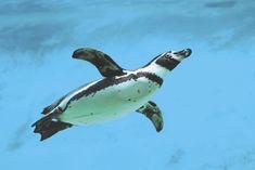 How do penguins swim? | AnimalAnswers.co.uk - Everything you need ...