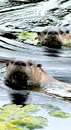 Curious River Otters want to see what's going on...