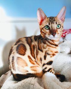 Pretty Animals, Pretty Cats, Beautiful Cats, Animals Beautiful, Cute Animals, Bengal Kitten, Chat Bengal, Kitten Cat, Cute Cats Photos