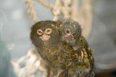 mama and baby pygmy marmosets
