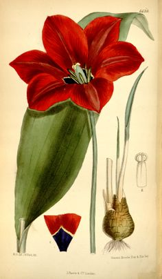 Tulipa gesneriana - circa 1882