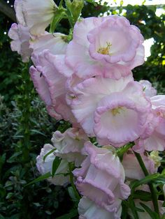 love the pinkness of them Gladiolus, Delphinium, Campanula Flower, Colorful Flowers, Beautiful Flowers, Herbaceous Border, Flower Meanings, Language Of Flowers, Greenhouse Gardening