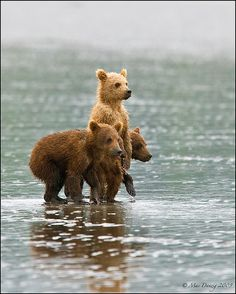 Three's a company! These adorable Coastal Brown Bear cubs were spotted taking a dip at Lake Clark, Alaska. Talk about real life teddy bears! (photo: Mac Danzig) by christian Cute Creatures, Beautiful Creatures, Animals Beautiful, Unusual Animals, Beautiful Babies, Cute Baby Animals, Animals And Pets, Funny Animals, Funny Cats