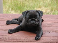 I want a black pug! I love fawn colored puggies, but with a black one, I won't be covered in puggie hair!