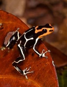 The Fantastic Poison Frog (Ranitomeya fantastica) of northern Peru has been reassessed due to a taxonomic change. Photo © Timothy D. Funny Frogs, Cute Frogs, Beautiful Creatures, Animals Beautiful, Cute Animals, Reptiles And Amphibians, Mammals, Types Of Frogs, Amazing Frog