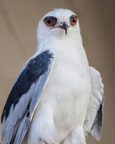 White Tailed Kite Bird of Prey Photography by CosmosCoolSupplies, $20.00