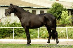 Trakehner - stallion Хазар Хан (Khazar Khan)