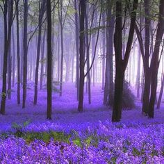 There is nothing more beautiful that a sea of bluebells!