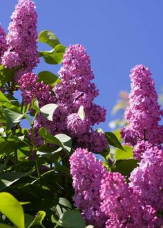 gorgeous and smell amazing!!  LILACS