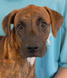 Janet is an adorable, affectionate Boxer mix puppy triumphantly debuting for adoption today at Nevada SPCA (www.nevadaspca.org).  She is 6 months of age, spayed, and great with other dogs.  Janet has gorgeous brindle/tiger coloring and we expect her to grow to Boxer size.  Emergency medical care saved Janet and her siblings -- please follow this link for more pictures and details: http://nevadaspca.blogspot.com/2013/08/jack-and-janet-adorable-boxer-mix.html