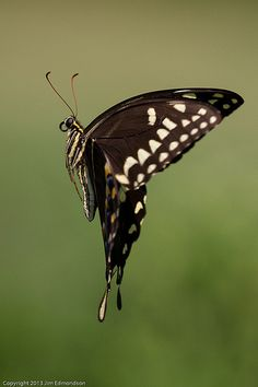 ˚Palamedes Swallowtail In Flight