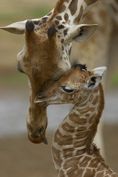 Momma giraffe having a tender moment with junior...