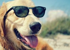 Retrievers Everywhere! Best Dog Breeds, Best Dogs, Dog With Glasses, Loyal Dogs, Puppy Care, Dog Owners, Rescue Dogs, Dogs And Puppies, Doggies