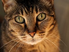 """""""The cat, in dignity and independence, is much like the human animal should be but isn't."""" --Paul Corey"""