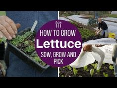 How to grow lettuce: sow, plant, protect plus the Charles Dowding picking method Organic Soil, Organic Gardening, Gardening Tips, Kitchen Gardening, Bonsai Seeds, Tree Seeds, Dig Gardens, Growing Lettuce, Seed Germination