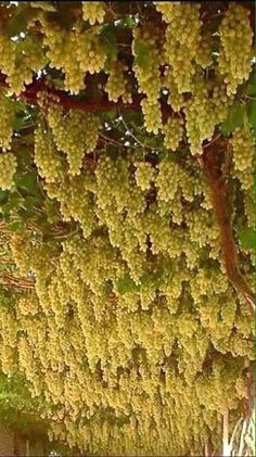 Nadire Atas on Wine Making From Grapes Unas rocas uvas, pero blancas Types Of Fruit, Fruit And Veg, Fruits And Veggies, Fresh Fruit, Fruit Plants, Fruit Garden, Fruit Trees, Vegetable Garden, Plantas Bonsai