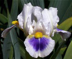 Smiley Pie – Sutton Iris Iris Flowers, My Flower, Dwarf Iris, Bright Yellow, Blue Bird, Smiley, Vines, Flora, Lavender