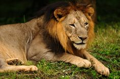 A male Asiatic lion, a critically endangered animal found only in Gir National Forest in India.