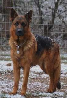 Red and black german shepherd