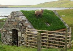 Rooftop grazing on the Shetland Islands of Scotland.