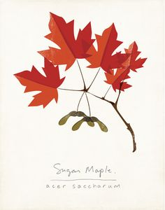Sugar Maple Autumn Leaves Botanical Print door ShopAmySullivan, $24.00