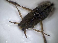Back swimmer (or greater water boatman)