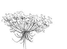 queen annes lace sketch