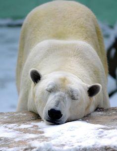 """Polar bear napping at *Everland Resort (Zoo-Topia), Yongin, Gyeonggi-do, South Korea*""     [Photo by floridapfe (IN CHERL KIM) - December 17 2010]'h4d'120919"