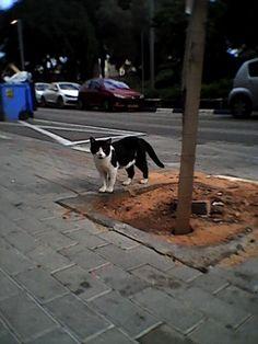 Tel Aviv Bearded Black and White Cat