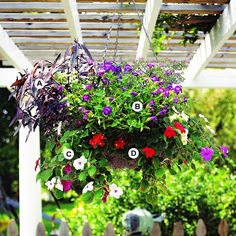 Hanging Basket Use a Mix of Colors A. Alternanthera 'Ruby' -- 1 B. Torenia 'Catalina Blue' -- 2 C. Impatiens 'Accent' series -- 5 D. Wax begonia (Begonia 'Prelude Red') -- 2