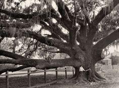 I wonder if it's still there.....beautiful.  Oak Tree, Louisiana    Photograph by Edwin L. Wisherd, National Geographic