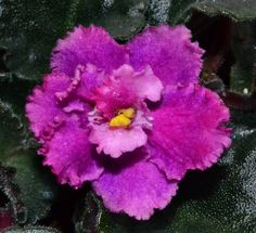 Robs Hot Chocolate Semi Miniature African Violet Flower