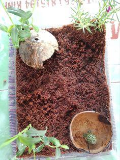Cute Reptiles, Reptiles And Amphibians, African Frogs, Frog Tank, Frog Habitat, Frog Terrarium, Pacman Frog, Cute Lizard, Reptile Room